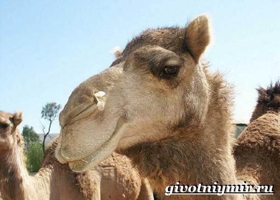 Двугорбый-верблюд-Образ-жизни-и-среда-обитания-двугорбого-верблюда-6