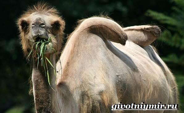 Двугорбый-верблюд-Образ-жизни-и-среда-обитания-двугорбого-верблюда-8