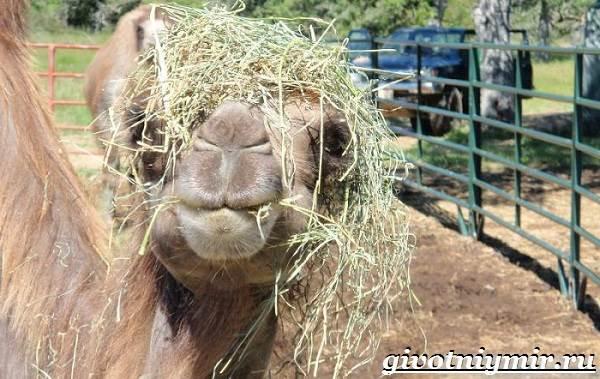 Двугорбый-верблюд-Образ-жизни-и-среда-обитания-двугорбого-верблюда-9