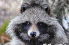 Енотовидная собака. Образ жизни и среда обитания енотовидной собаки