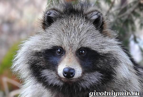 Енотовидная-собака-Образ-жизни-и-среда-обитания-енотовидной-собаки-1