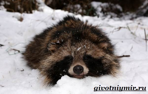Енотовидная-собака-Образ-жизни-и-среда-обитания-енотовидной-собаки-6
