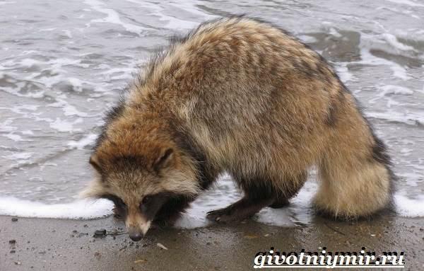 Енотовидная-собака-Образ-жизни-и-среда-обитания-енотовидной-собаки-8