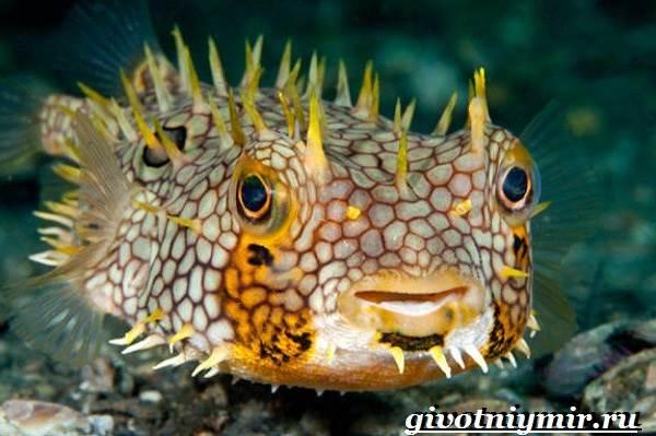 Еж-рыба-Образ-жизни-и-среда-обитания-рыбы-ёж-1