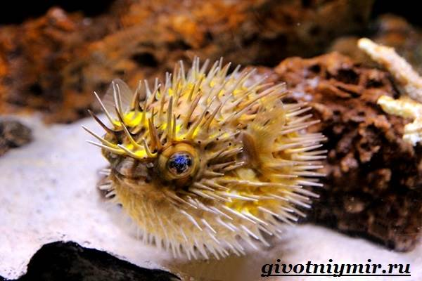 Еж-рыба-Образ-жизни-и-среда-обитания-рыбы-ёж-2