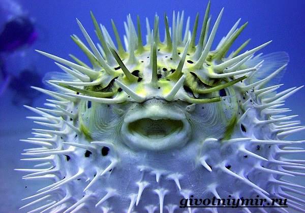 Еж-рыба-Образ-жизни-и-среда-обитания-рыбы-ёж-3