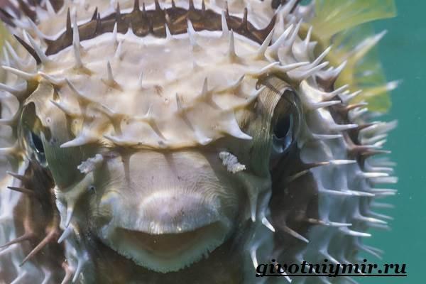 Еж-рыба-Образ-жизни-и-среда-обитания-рыбы-ёж-4