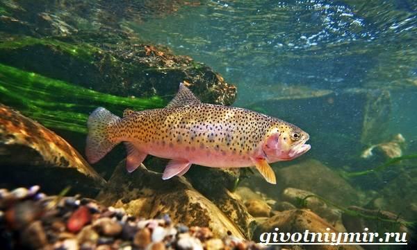Форель-рыба-Образ-жизни-и-среда-обитания-рыбы-форель-4