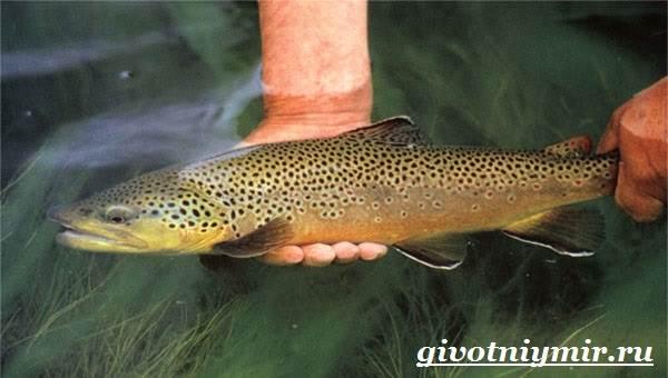 Форель-рыба-Образ-жизни-и-среда-обитания-рыбы-форель-7