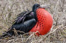 Фрегат птица. Образ жизни и среда обитания птицы фрегат