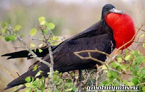 Фрегат-птица-Образ-жизни-и-среда-обитания-птицы-фрегат-2