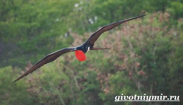 Фрегат-птица-Образ-жизни-и-среда-обитания-птицы-фрегат-3