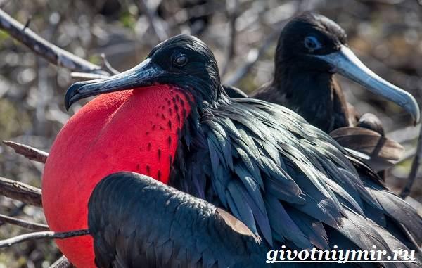 Фрегат-птица-Образ-жизни-и-среда-обитания-птицы-фрегат-5