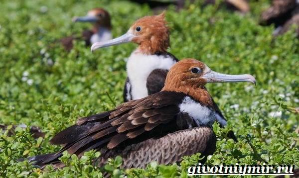 Фрегат-птица-Образ-жизни-и-среда-обитания-птицы-фрегат-7
