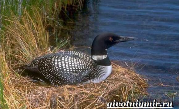 Гагара-птица-Образ-жизни-и-среда-обитания-гагары-3