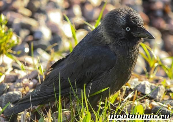 Галка-птица-Образ-жизни-и-среда-обитания-галки-1