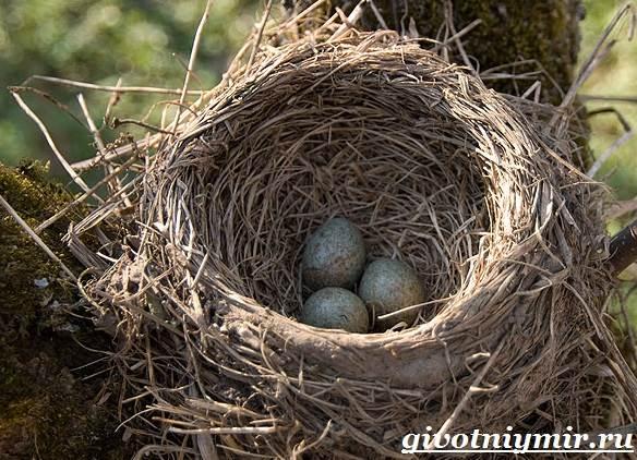Галка-птица-Образ-жизни-и-среда-обитания-галки-10