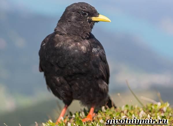 Галка-птица-Образ-жизни-и-среда-обитания-галки-2