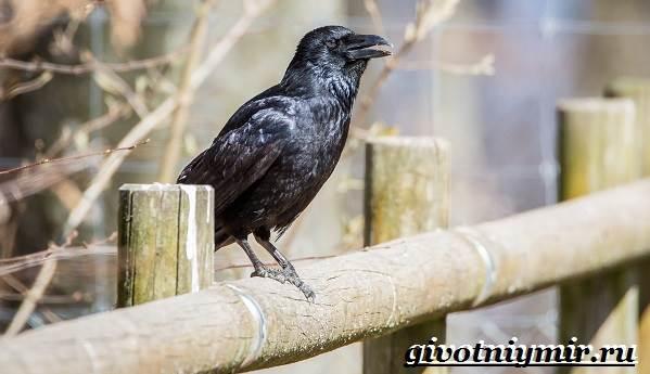 Галка-птица-Образ-жизни-и-среда-обитания-галки-3