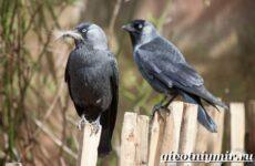 Галка птица. Образ жизни и среда обитания галки