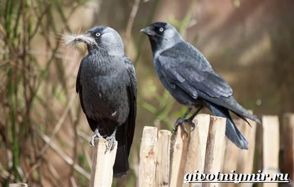 Галка-птица-Образ-жизни-и-среда-обитания-галки-4