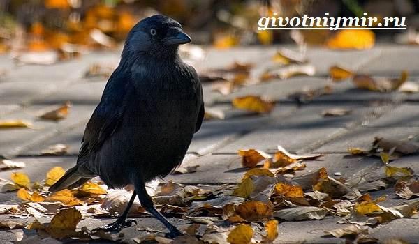 Галка-птица-Образ-жизни-и-среда-обитания-галки-6