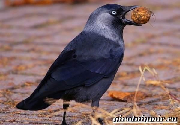 Галка-птица-Образ-жизни-и-среда-обитания-галки-8