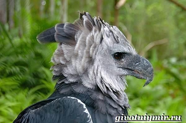 Гарпия-птица-Образ-жизни-и-среда-обитания-птицы-гарпии-1