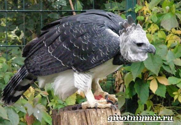 Гарпия-птица-Образ-жизни-и-среда-обитания-птицы-гарпии-3