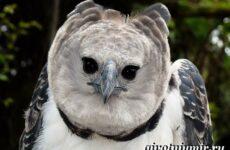 Гарпия птица. Образ жизни и среда обитания птицы гарпии