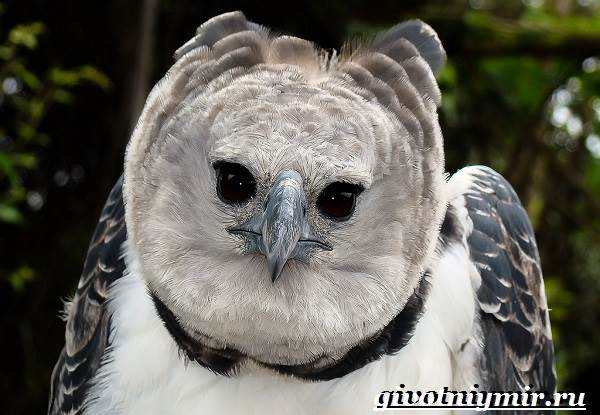 Гарпия-птица-Образ-жизни-и-среда-обитания-птицы-гарпии-5