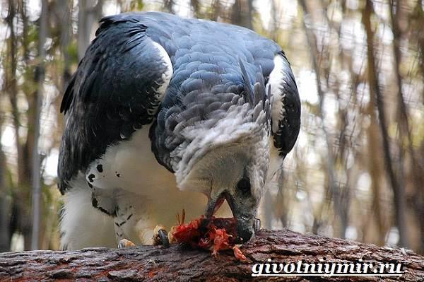 Гарпия-птица-Образ-жизни-и-среда-обитания-птицы-гарпии-6
