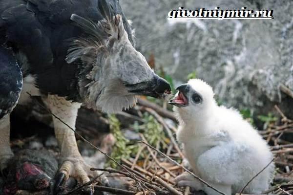 Гарпия-птица-Образ-жизни-и-среда-обитания-птицы-гарпии-7
