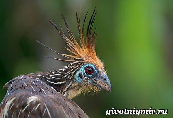 Гоацин-птица-Образ-жизни-и-среда-обитания-гоацина-2
