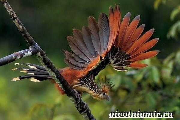 Гоацин-птица-Образ-жизни-и-среда-обитания-гоацина-3
