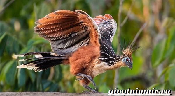 Гоацин-птица-Образ-жизни-и-среда-обитания-гоацина-4