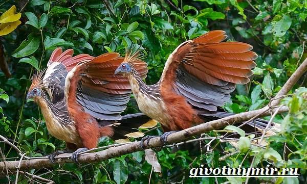 Гоацин-птица-Образ-жизни-и-среда-обитания-гоацина-5