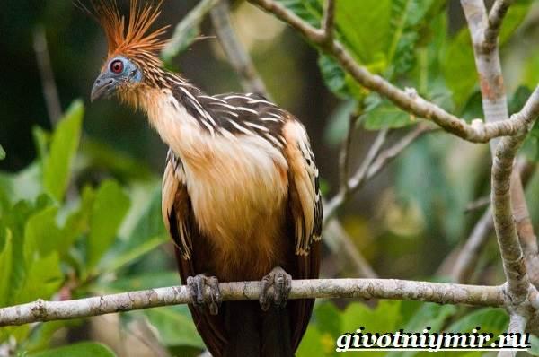 Гоацин-птица-Образ-жизни-и-среда-обитания-гоацина-6