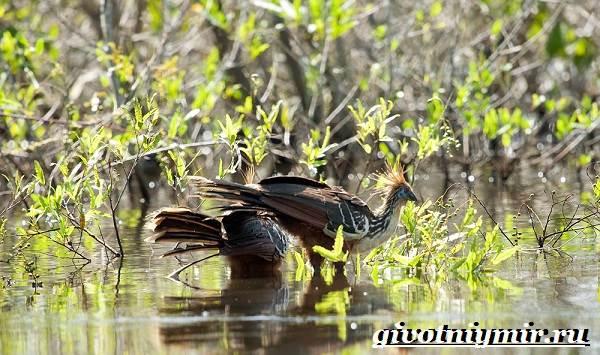 Гоацин-птица-Образ-жизни-и-среда-обитания-гоацина-7