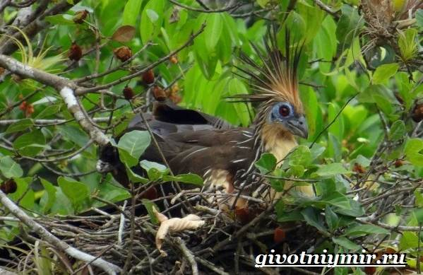 Гоацин-птица-Образ-жизни-и-среда-обитания-гоацина-8
