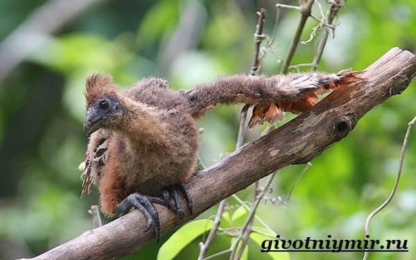 Гоацин-птица-Образ-жизни-и-среда-обитания-гоацина-9