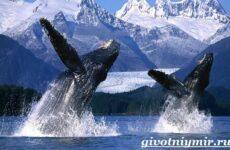 Горбатый кит. Образ жизни и среда обитания горбатого кита