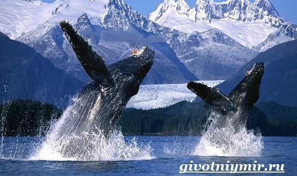 Горбатый-кит-Образ-жизни-и-среда-обитания-горбатого-кита-3
