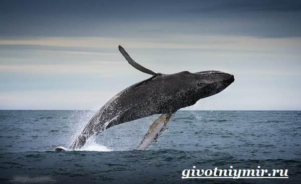 Горбатый-кит-Образ-жизни-и-среда-обитания-горбатого-кита-4