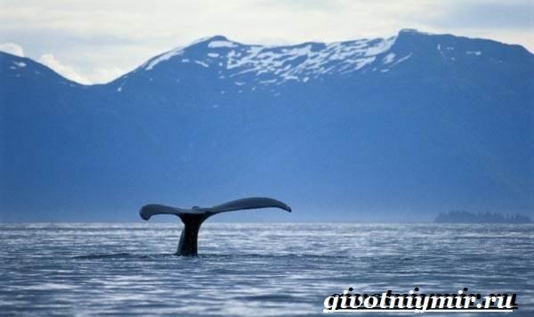 Горбатый-кит-Образ-жизни-и-среда-обитания-горбатого-кита-6