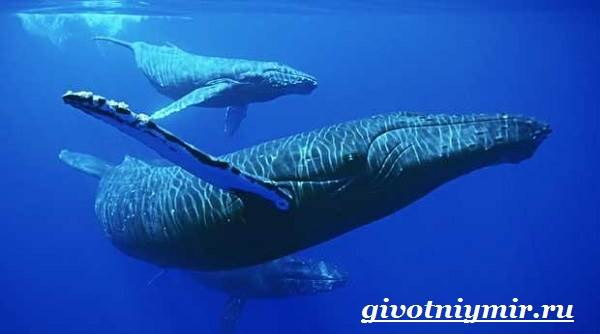 Горбатый-кит-Образ-жизни-и-среда-обитания-горбатого-кита-8