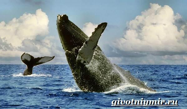 Горбатый-кит-Образ-жизни-и-среда-обитания-горбатого-кита-1