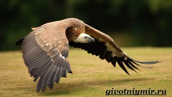 гриф. фото птица