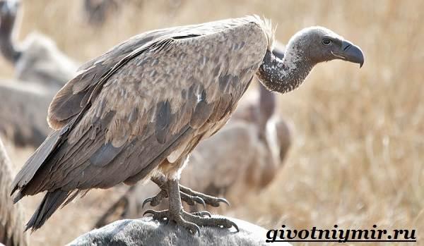 Гриф-птица-Образ-жизни-и-среда-обитания-грифа-6