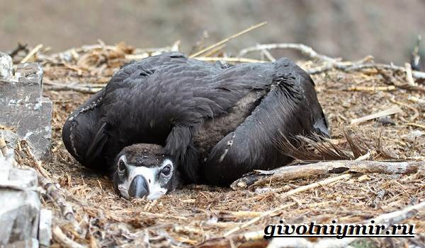 Гриф-птица-Образ-жизни-и-среда-обитания-грифа-8